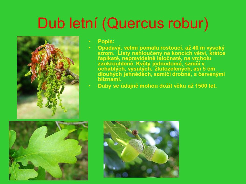 Dub letní (Quercus robur) Popis: Opadavý, velmi pomalu rostoucí, až 40 m vysoký strom. Listy nahloučeny na koncích větví, krátce řapíkaté, nepravideln