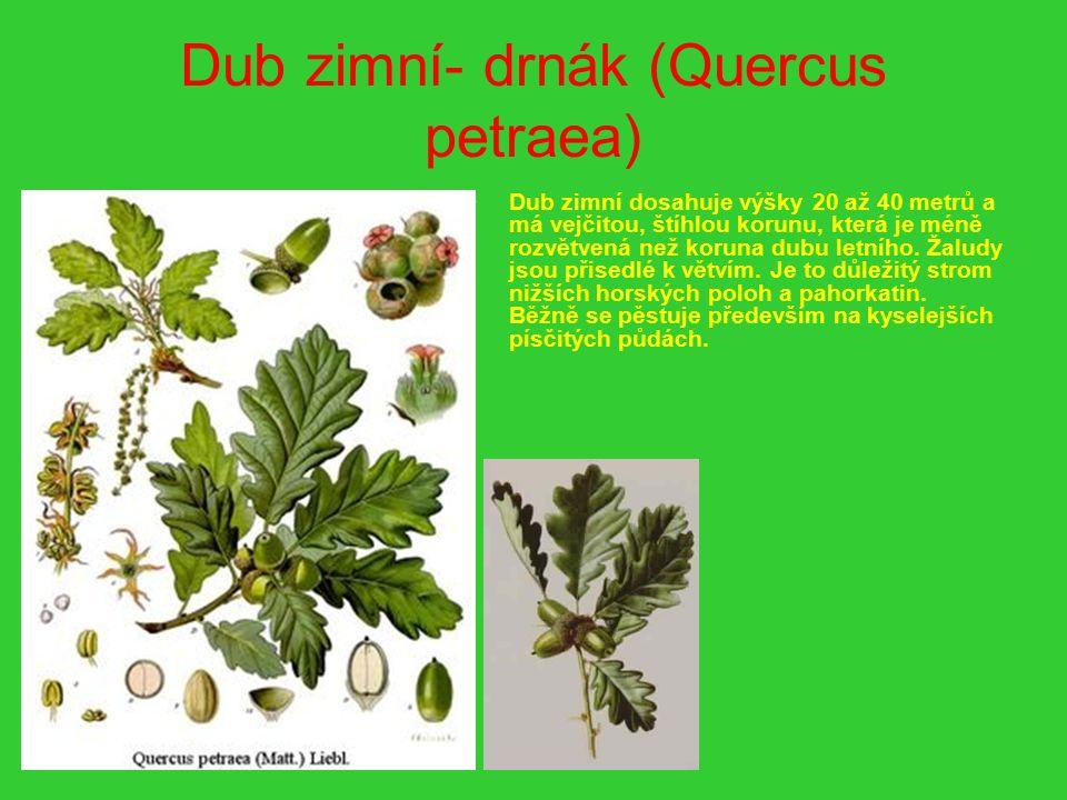 Dub zimní- drnák (Quercus petraea) Dub zimní dosahuje výšky 20 až 40 metrů a má vejčitou, štíhlou korunu, která je méně rozvětvená než koruna dubu let