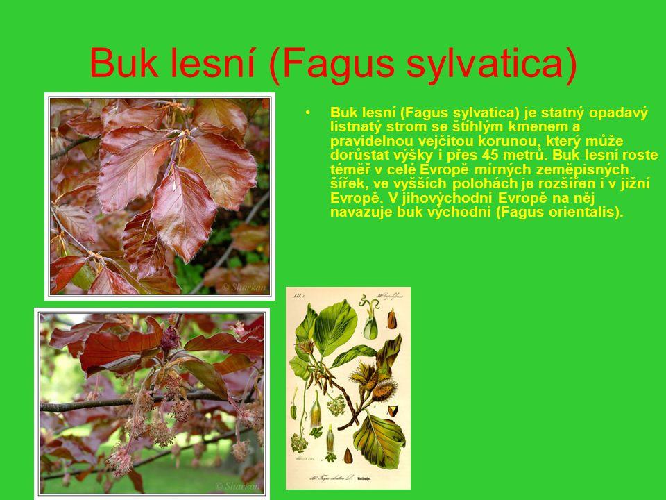 Buk lesní (Fagus sylvatica) Buk lesní (Fagus sylvatica) je statný opadavý listnatý strom se štíhlým kmenem a pravidelnou vejčitou korunou, který může