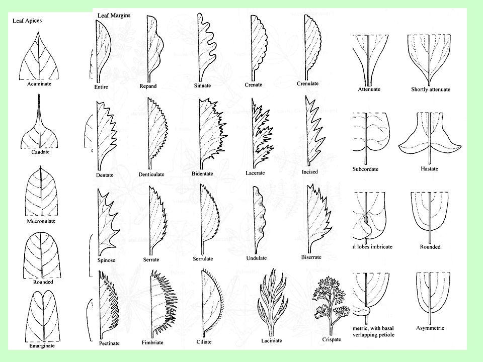 Listová žilnatina hlavní žebro, postranní žilky, anastomózy  Podle přítomnosti a nápadnosti žilek *bezžilné, jednožilné, vícežilné listy  Základní podle větvení žilek *vidličnatá, zpeřená, dlanitá, znožená, rovnoběžná, souběžná *síťnatá *uzavřená, otevřená