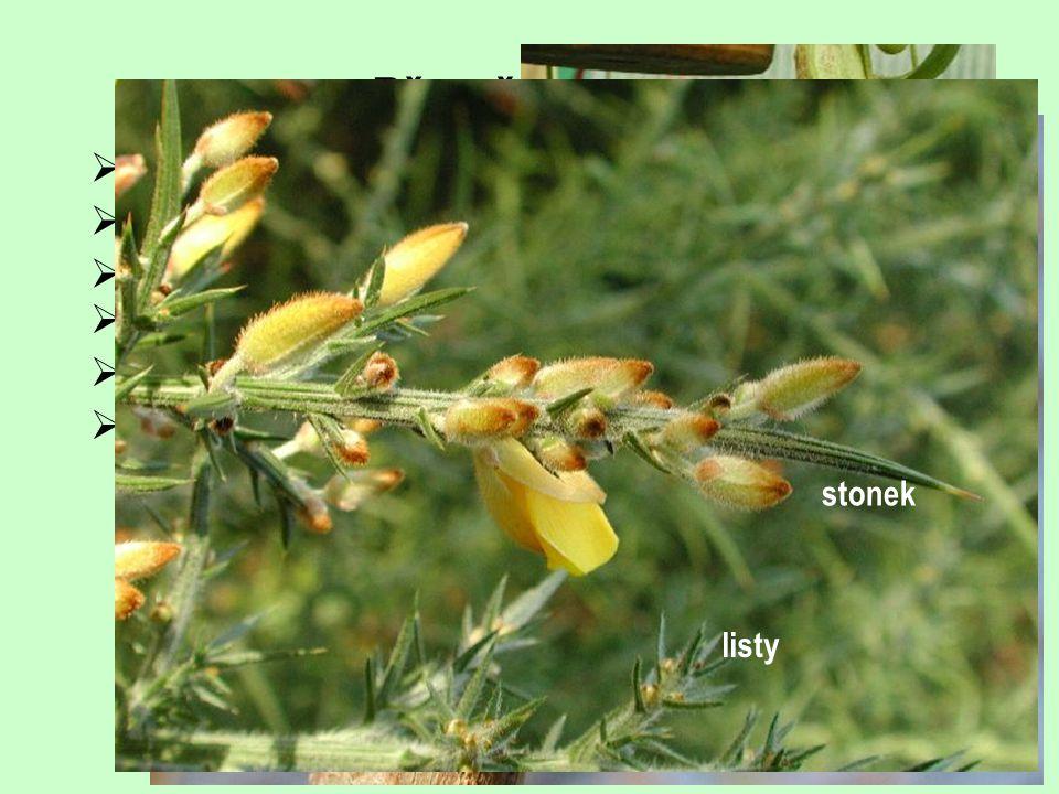  cibule (plná, sukničitá, šupinovitá, složená)  listové trny (celé listy, úkrojky, okraj, vřeteno, palisty)  listové úponky  rhizofyl  fylodium 
