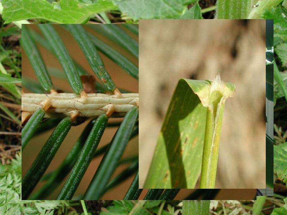 Palisty  vyvíjejí se z listové báze  mohou být *prchavé, opadavé, vytrvalé *šupinovité, blanité, vejčité, zelené *volné, srostlé (např.