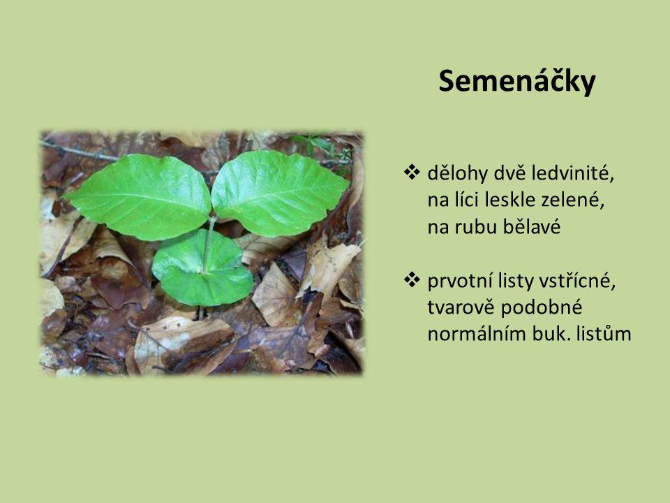 Semenáčky  dělohy dvě ledvinité, na líci leskle zelené, na rubu bělavé  prvotní listy vstřícné, tvarově podobné normálním buk. listům