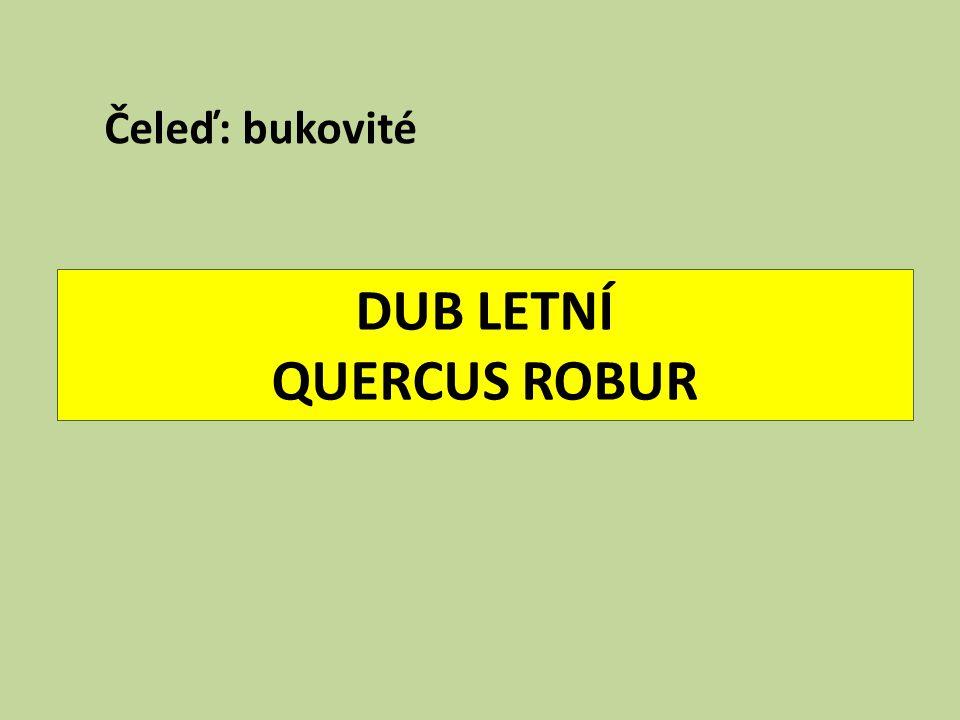 DUB LETNÍ QUERCUS ROBUR Čeleď: bukovité