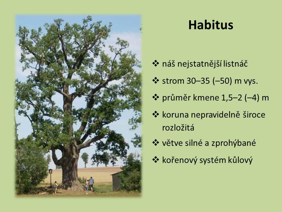Habitus  náš nejstatnější listnáč  strom 30–35 (–50) m vys.  průměr kmene 1,5–2 (–4) m  koruna nepravidelně široce rozložitá  větve silné a zproh