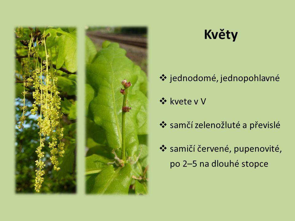 Květy  jednodomé, jednopohlavné  kvete v V  samčí zelenožluté a převislé  samičí červené, pupenovité, po 2–5 na dlouhé stopce