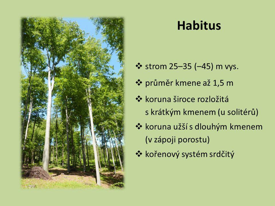 Habitus  strom 25–35 (–45) m vys.  průměr kmene až 1,5 m  koruna široce rozložitá s krátkým kmenem (u solitérů)  koruna užší s dlouhým kmenem (v z