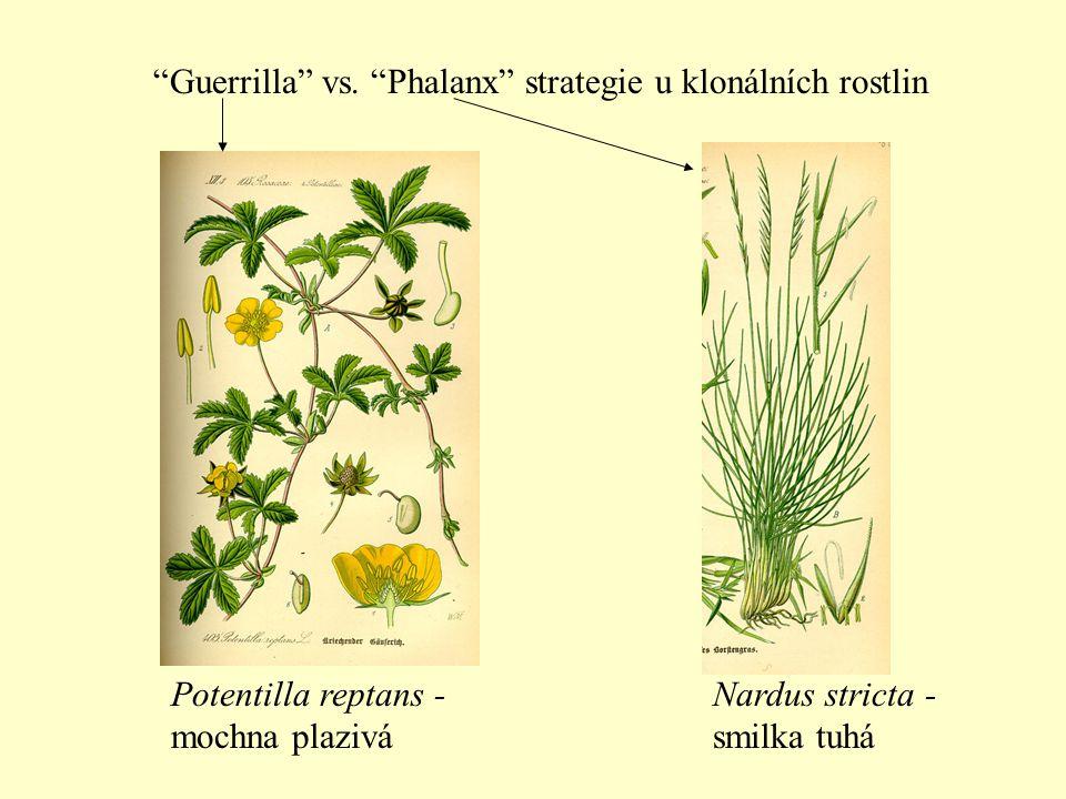 """""""Guerrilla"""" vs. """"Phalanx"""" strategie u klonálních rostlin Nardus stricta - smilka tuhá Potentilla reptans - mochna plazivá"""