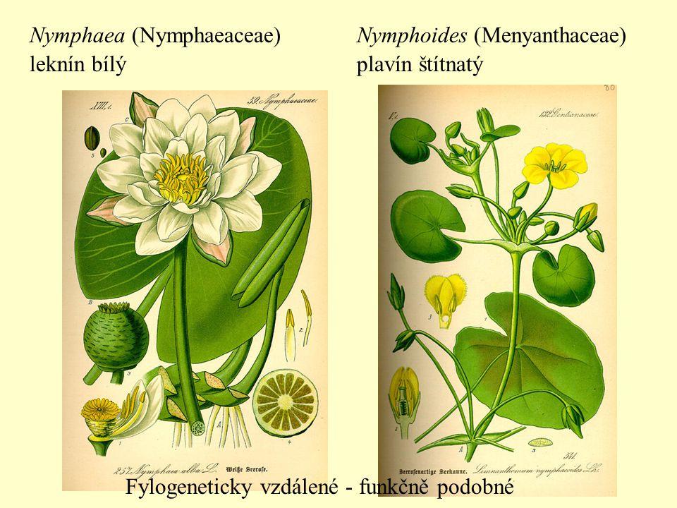 Kaktusy: Cactaceae Jiné sukulenty: Euphorbiaceae Mesembryanthemaceae Fylogeneticky vzdálené - funkčně podobné