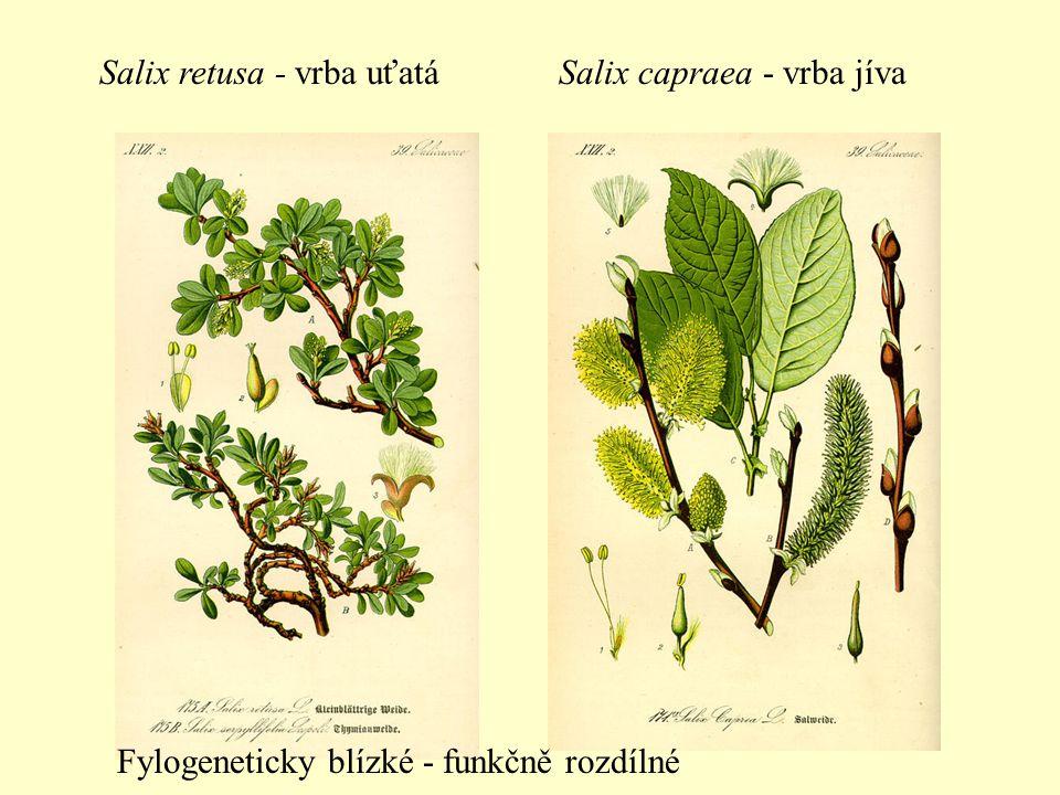Salix retusa - vrba uťatáSalix capraea - vrba jíva Fylogeneticky blízké - funkčně rozdílné