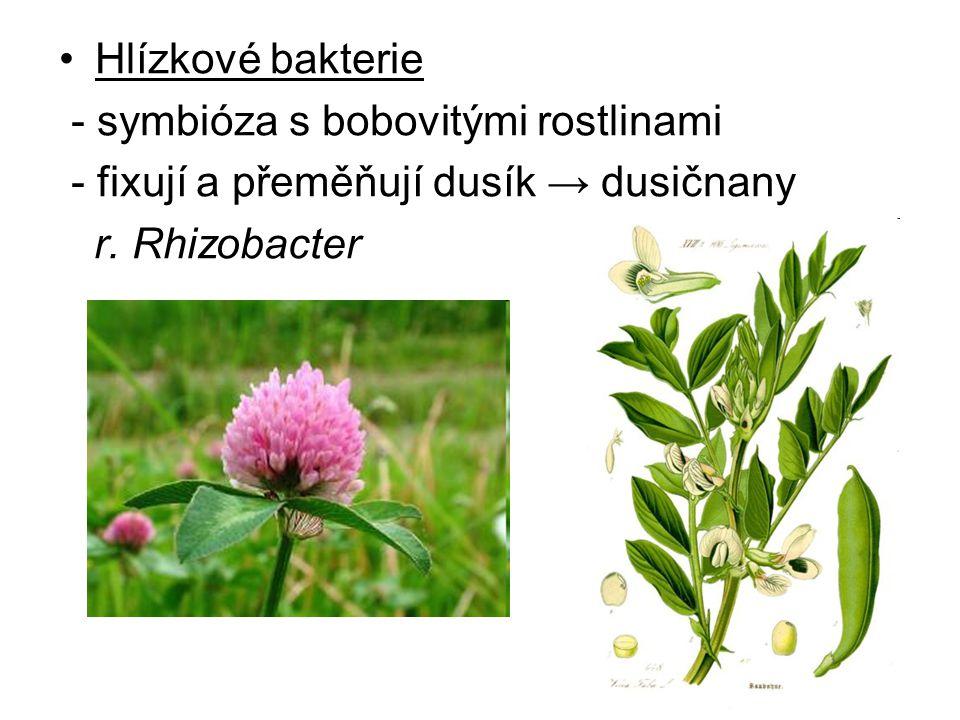 Hlízkové bakterie - symbióza s bobovitými rostlinami - fixují a přeměňují dusík → dusičnany r. Rhizobacter