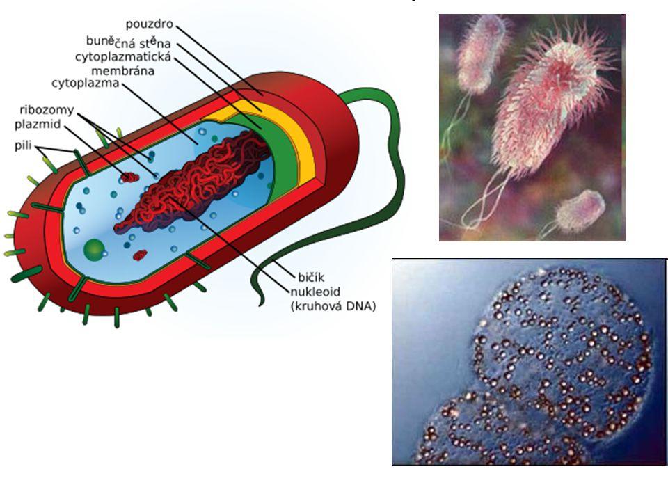 Dělení bakterií 1.Podle stavby a barvitelnosti buněčné stěny G + ( grampozitivní) - b.s.