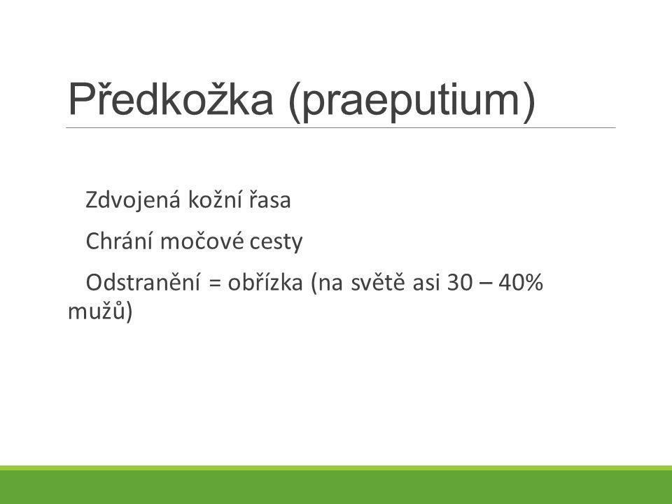 Předkožka (praeputium) Zdvojená kožní řasa Chrání močové cesty Odstranění = obřízka (na světě asi 30 – 40% mužů)