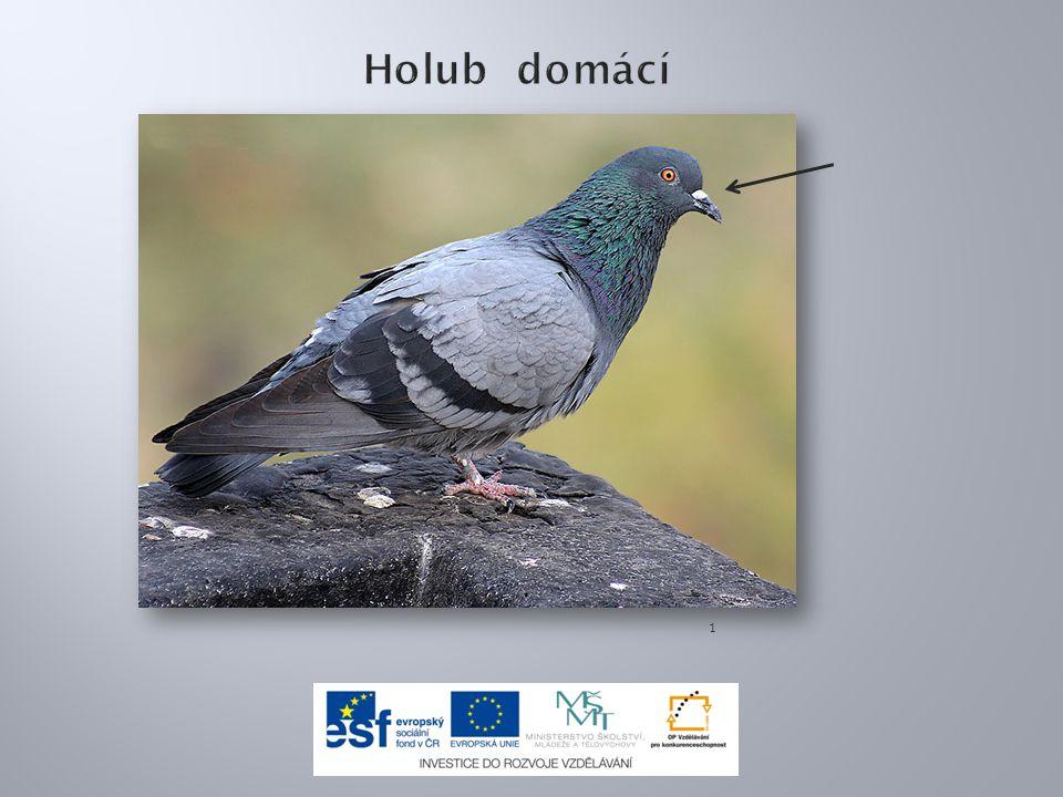 7.Blue Rock Pigeon I2 IMG 7877.jpg.In: Wikipedia: the free encyclopedia [online].
