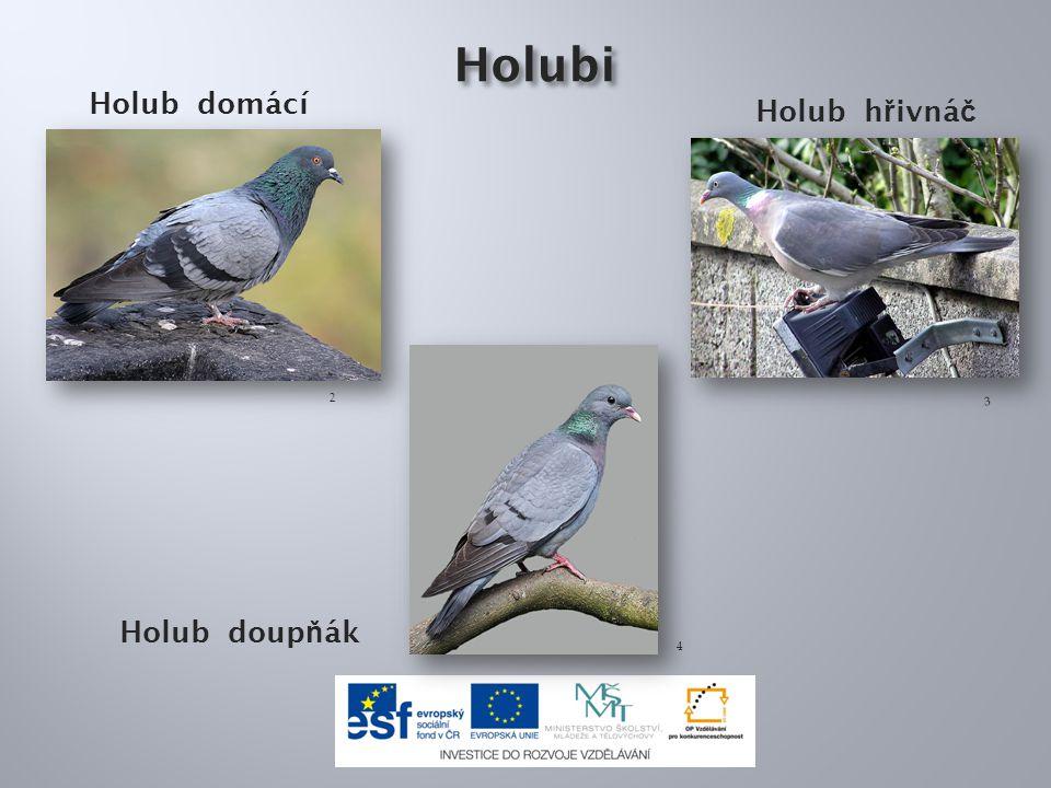 Holubi Holub domácí Holub h ř ivná č Holub doup ň ák 2 3 4