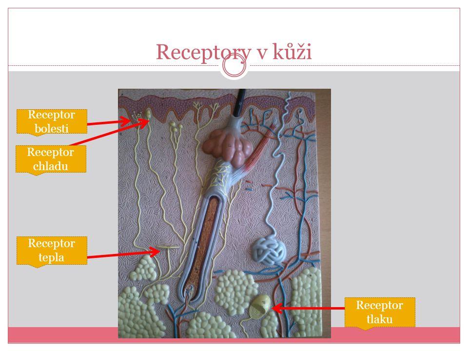 Receptory v kůži Receptor bolesti Receptor tepla Receptor chladu Receptor tlaku