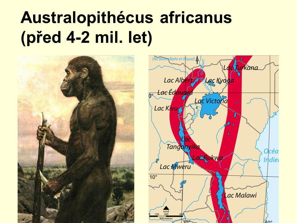 Australopithécus africanus (před 4-2 mil. let)