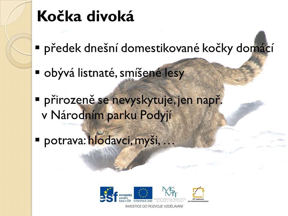  předek dnešní domestikované kočky domácí  obývá listnaté, smíšené lesy  přirozeně se nevyskytuje, jen např. v Národním parku Podyjí  potrava: hlo