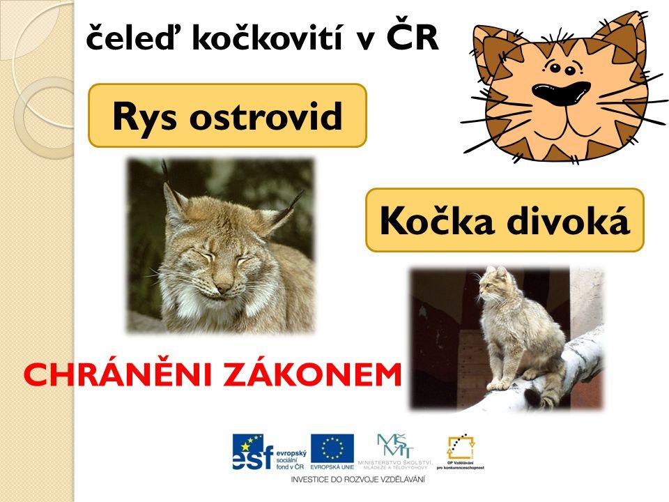 čeleď kočkovití v ČR Rys ostrovid Kočka divoká CHRÁNĚNI ZÁKONEM