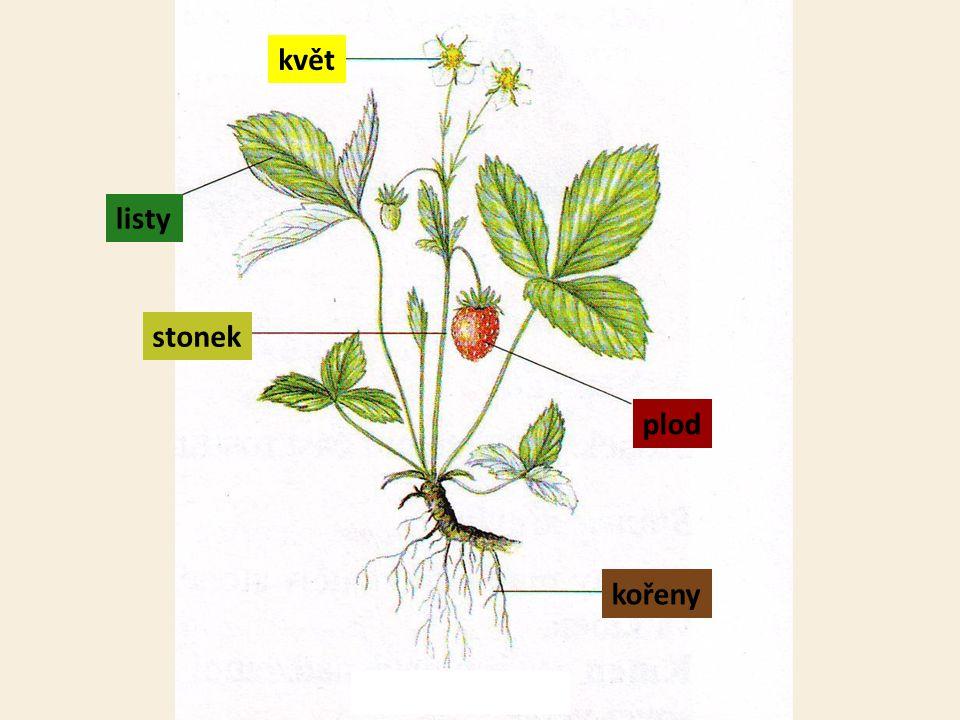 kořeny stonek listy květ plod