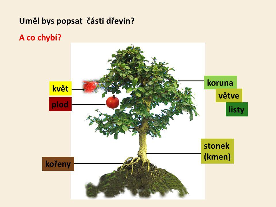 Uměl bys popsat části dřevin? kořeny stonek (kmen) koruna větve listy A co chybí? květ plod