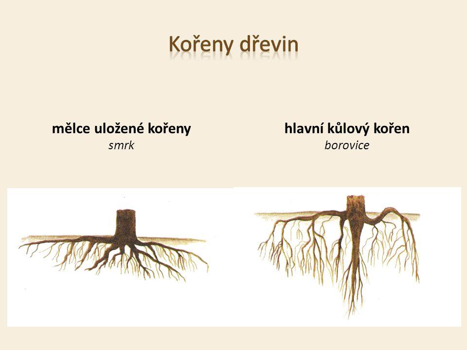 mělce uložené kořeny smrk hlavní kůlový kořen borovice