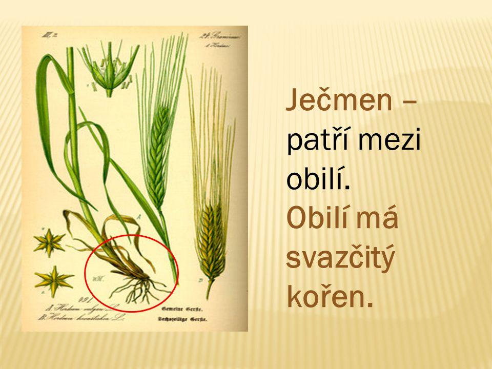 Ječmen – patří mezi obilí. Obilí má svazčitý kořen.