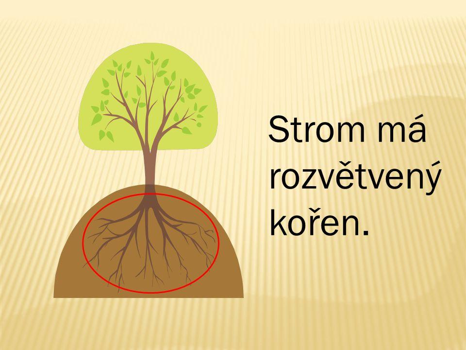 Strom má rozvětvený kořen.
