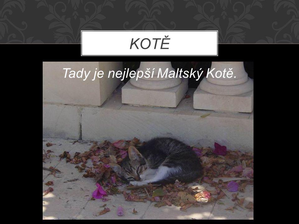 KOTĚ Tady je nejlepší Maltský Kotě.