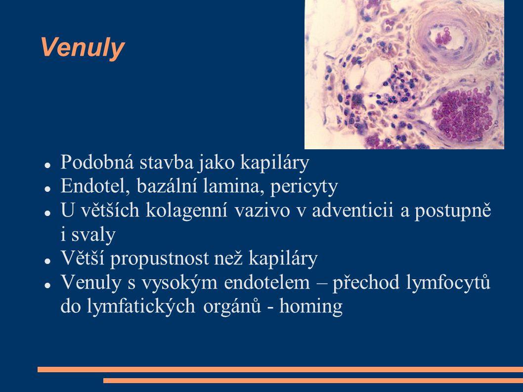 Venuly Podobná stavba jako kapiláry Endotel, bazální lamina, pericyty U větších kolagenní vazivo v adventicii a postupně i svaly Větší propustnost než