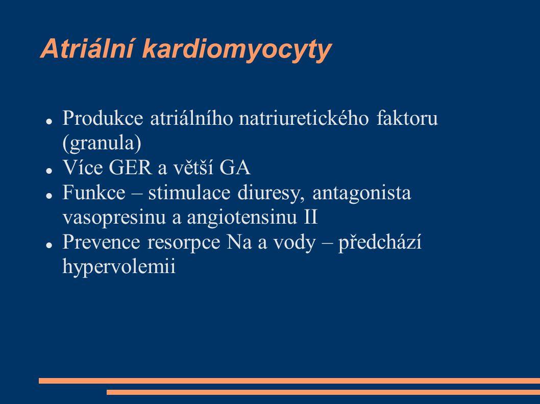 Převodní systém Modifikované kardiomyocyty v uzlech menší než buňky atrií, v Purkyňových vláknech větší, Obsahují méně myofibril a mitochondrií: Nodus sinoatrialis Nodusa trioventriculais Hisův svazek Tawarova raménka Purkyňova vlákna  Nodulus sinoatrialis (Keith-Flackův)  Nodulus atrioventricularis (Aschoff-Tawarův) Purkyňova vlákna jsou silnější než pracovní kardiomyocyty, obsahují hojně glykogenu, pozitivní na acetylcholin esterasu  Atrioventrikulární svazek Hisův  Pravé a levé Tawarovo raménko  Levé raménko se ještě dělí na dvě