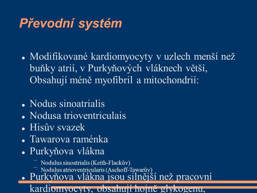 Převodní systém Modifikované kardiomyocyty v uzlech menší než buňky atrií, v Purkyňových vláknech větší, Obsahují méně myofibril a mitochondrií: Nodus