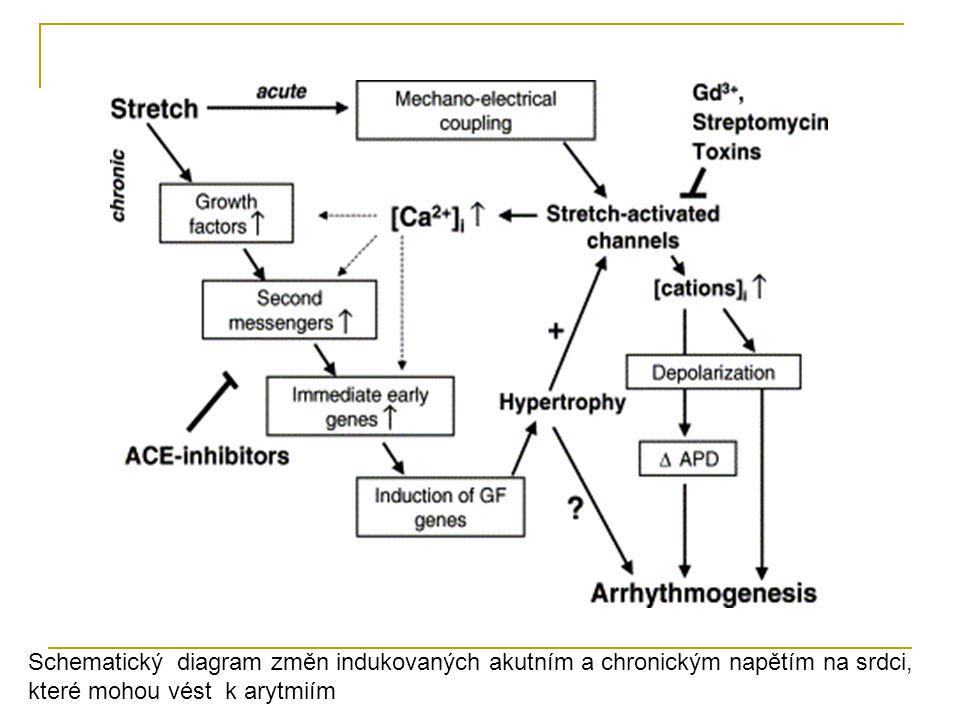 Schematický diagram změn indukovaných akutním a chronickým napětím na srdci, které mohou vést k arytmiím