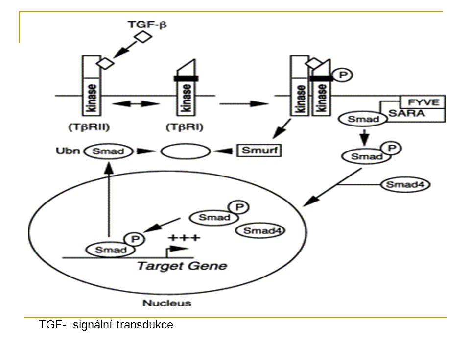 TGF- signální transdukce
