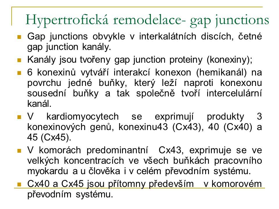 Hypertrofická remodelace- gap junctions Gap junctions obvykle v interkalátních discích, četné gap junction kanály. Kanály jsou tvořeny gap junction pr