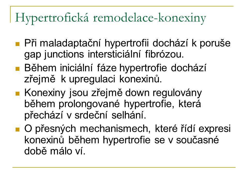 Hypertrofická remodelace-konexiny Při maladaptační hypertrofii dochází k poruše gap junctions intersticiální fibrózou. Během iniciální fáze hypertrofi