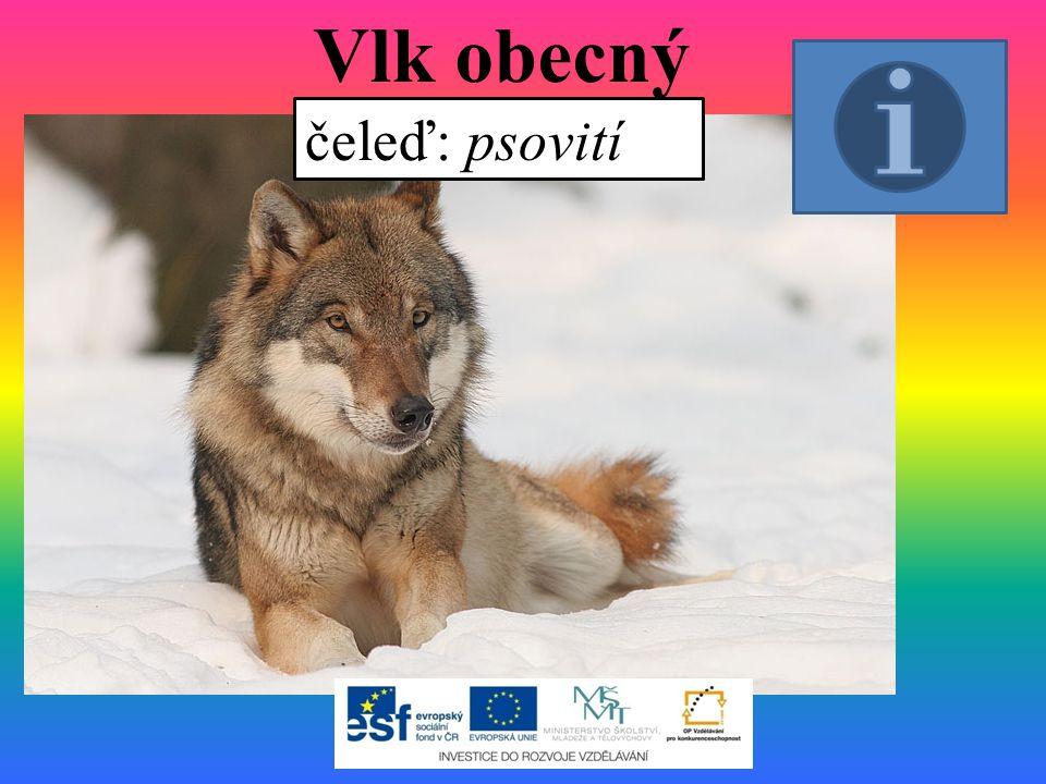 Vlk obecný čeleď: psovití