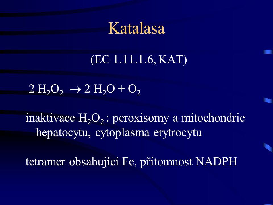 Katalasa (EC 1.11.1.6, KAT) 2 H 2 O 2  2 H 2 O + O2O2 inaktivace H 2 O 2 : peroxisomy a mitochondrie hepatocytu, cytoplasma erytrocytu tetramer obsah