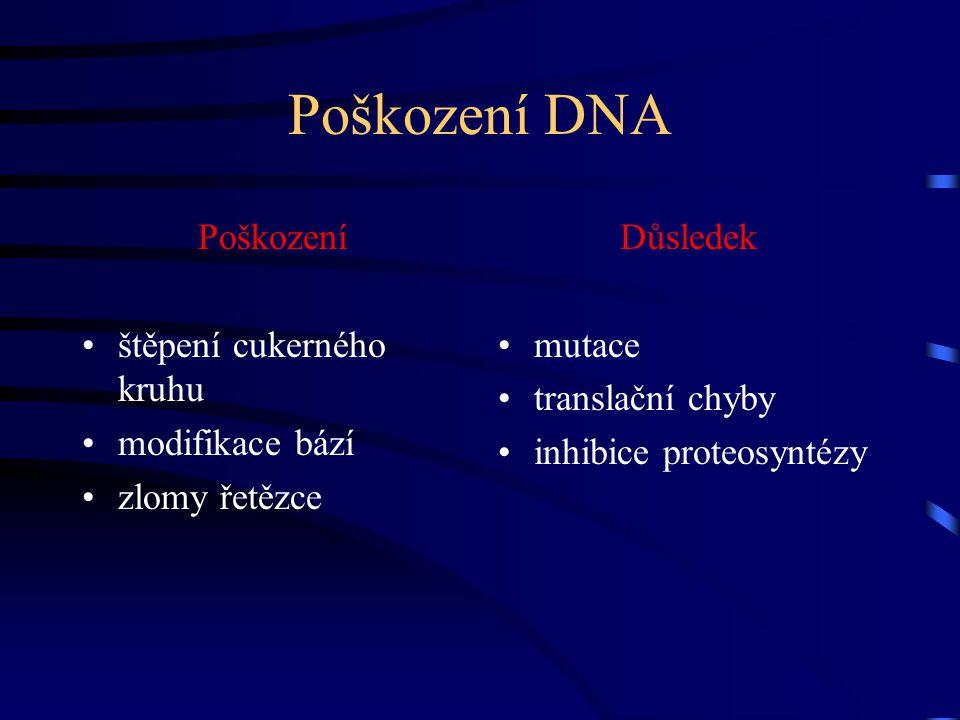 Poškození DNA Poškození štěpení cukerného kruhu modifikace bází zlomy řetězce Důsledek mutace translační chyby inhibice proteosyntézy