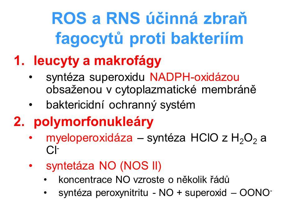ROS a RNS účinná zbraň fagocytů proti bakteriím 1.leucyty a makrofágy syntéza superoxidu NADPH-oxidázou obsaženou v cytoplazmatické membráně bakterici