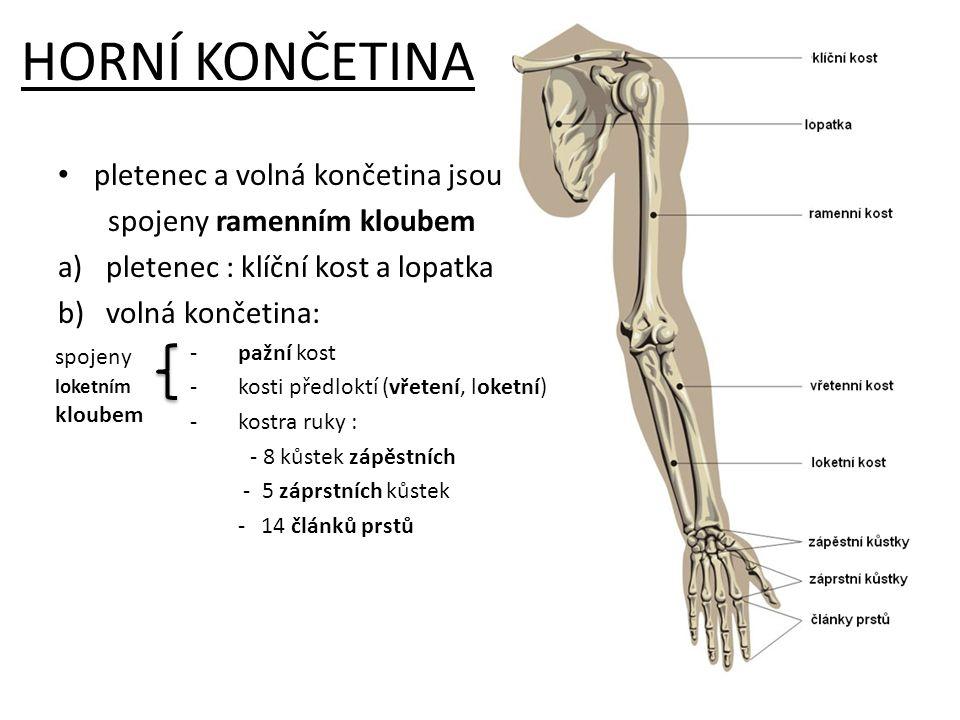 HORNÍ KONČETINA pletenec a volná končetina jsou spojeny ramenním kloubem a)pletenec : klíční kost a lopatka b)volná končetina: -pažní kost -kosti před