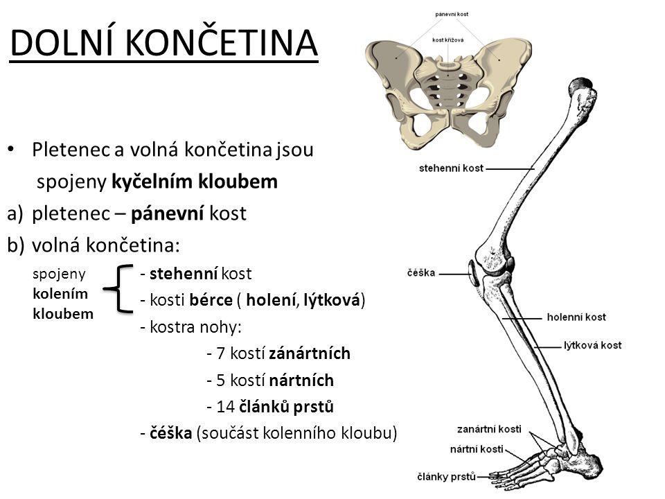 DOLNÍ KONČETINA Pletenec a volná končetina jsou spojeny kyčelním kloubem a)pletenec – pánevní kost b)volná končetina: - stehenní kost - kosti bérce (