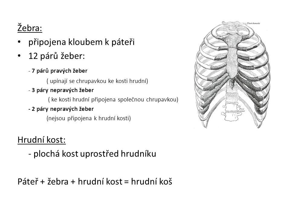 Žebra: připojena kloubem k páteři 12 párů žeber: - 7 párů pravých žeber ( upínají se chrupavkou ke kosti hrudní) - 3 páry nepravých žeber ( ke kosti h