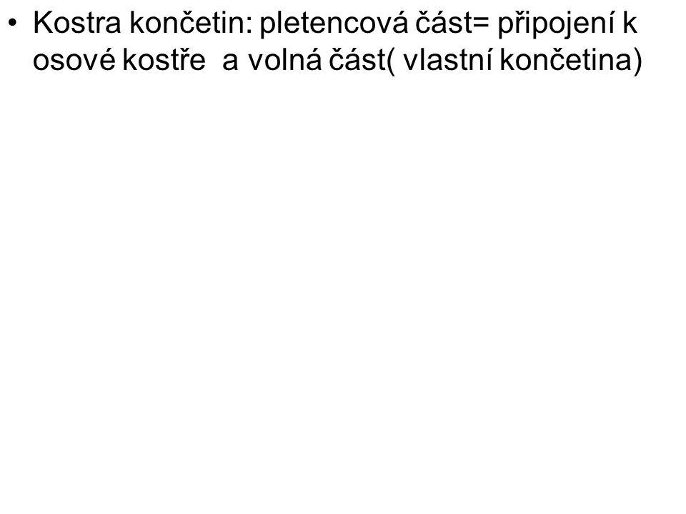 Kostra končetin: pletencová část= připojení k osové kostře a volná část( vlastní končetina)