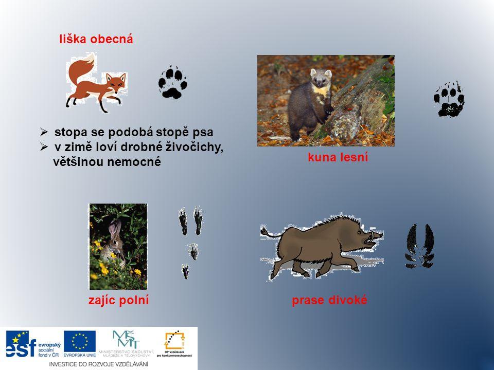 liška obecná  stopa se podobá stopě psa  v zimě loví drobné živočichy, většinou nemocné kuna lesní zajíc polní prase divoké