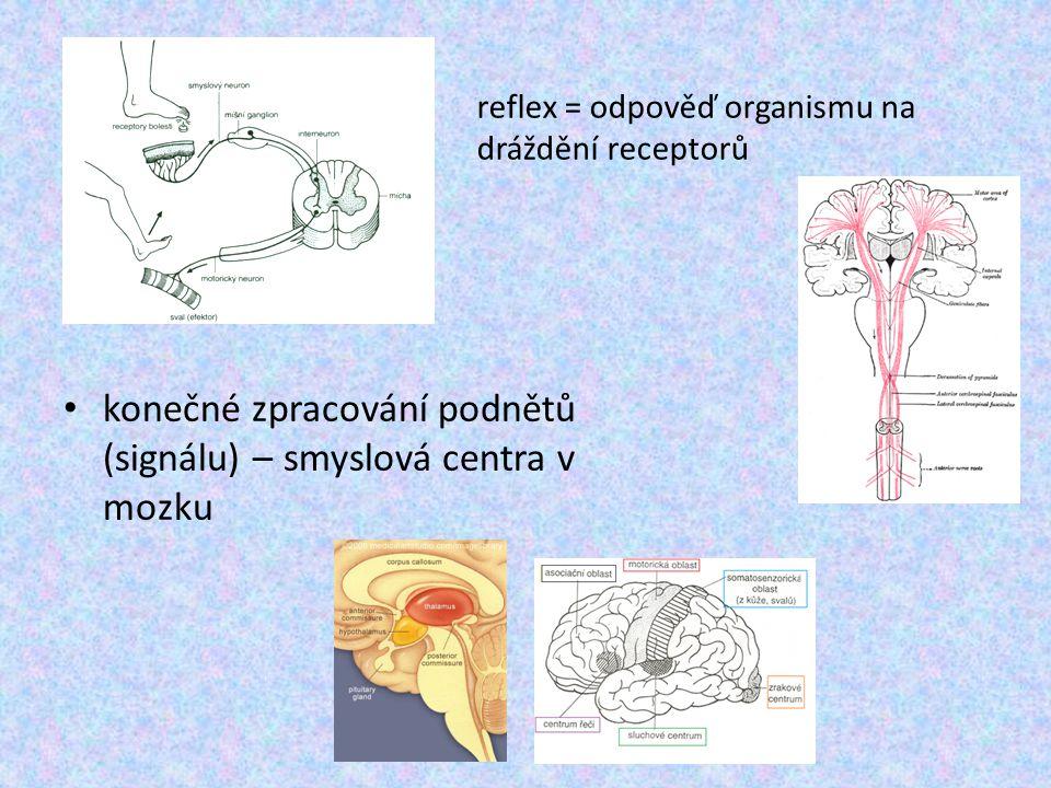 konečné zpracování podnětů (signálu) – smyslová centra v mozku reflex = odpověď organismu na dráždění receptorů