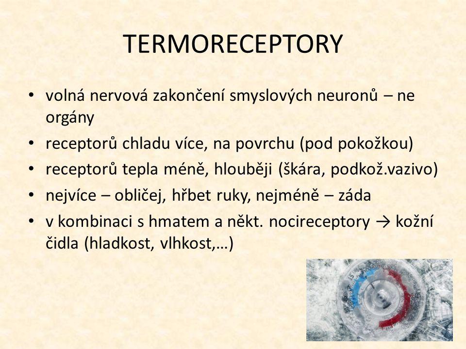 TERMORECEPTORY volná nervová zakončení smyslových neuronů – ne orgány receptorů chladu více, na povrchu (pod pokožkou) receptorů tepla méně, hlouběji