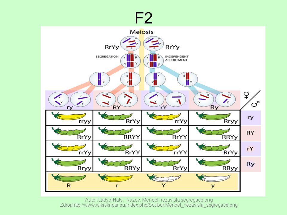 F2 Autor:LadyofHats, Název: Mendel nezavisla segregace.png Zdroj:http://www.wikiskripta.eu/index.php/Soubor:Mendel_nezavisla_segregace.png