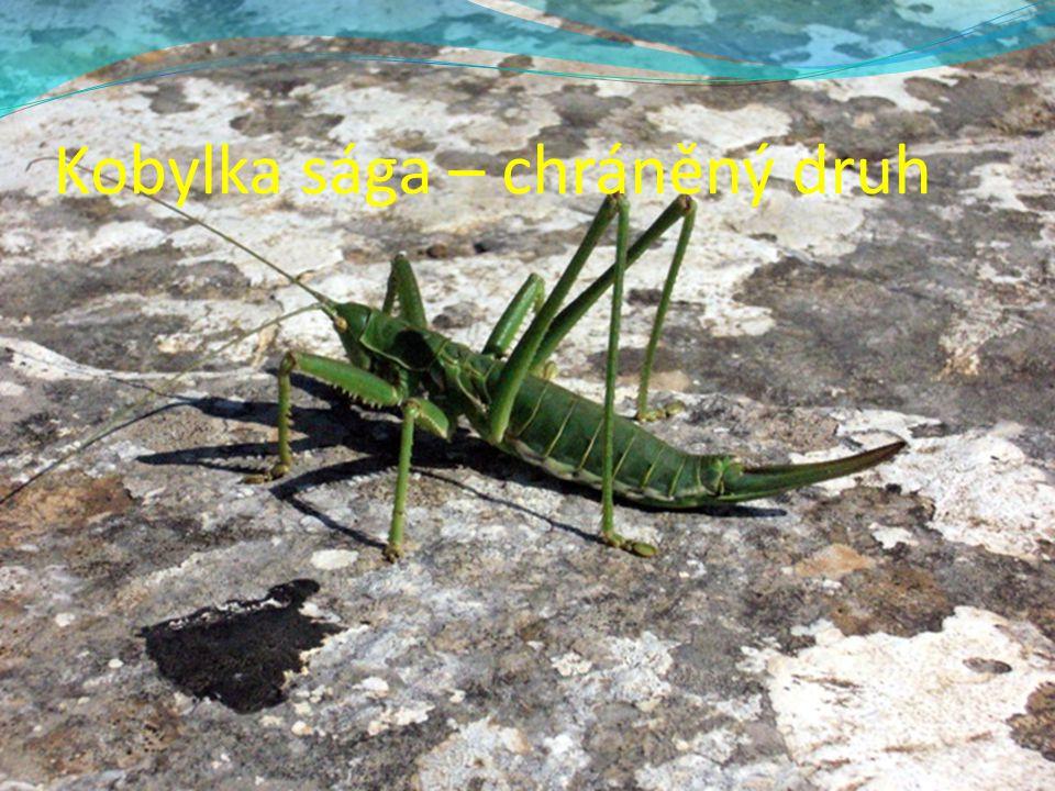 Kobylka sága – chráněný druh