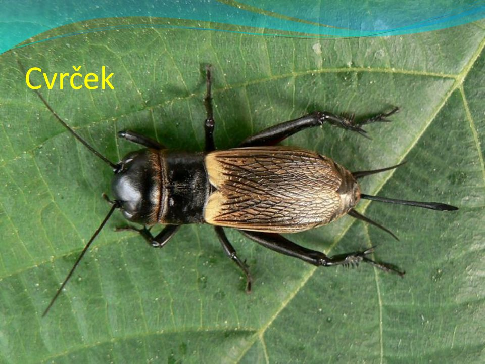 Cvrčci meze, sušší louky vyhrabává si díry do země na jaře samec láká samičku cvrkáním v České republice žije 11 druhů cvrčků samičky jsou o trochu větší nymfy přezimují.